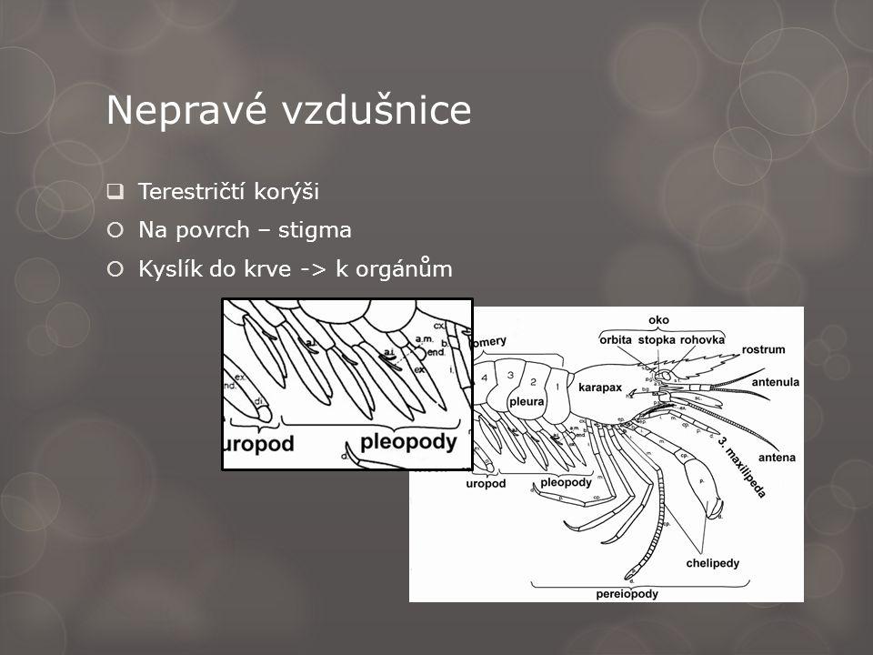 Nepravé vzdušnice  Terestričtí korýši  Na povrch – stigma  Kyslík do krve -> k orgánům