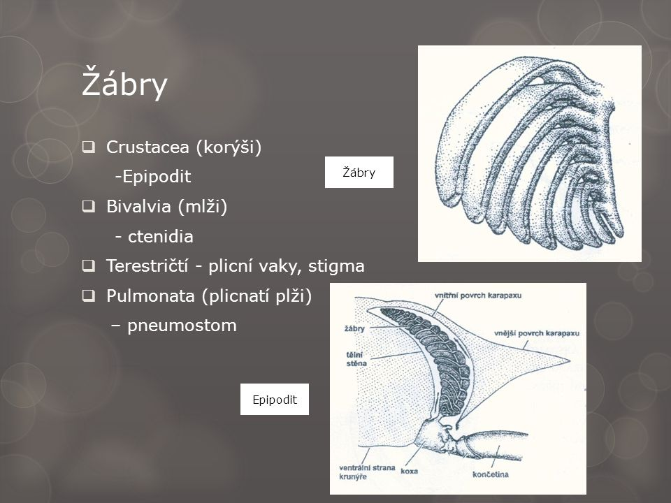 Žábry  Crustacea (korýši) -Epipodit  Bivalvia (mlži) - ctenidia  Terestričtí - plicní vaky, stigma  Pulmonata (plicnatí plži) – pneumostom Epipodi