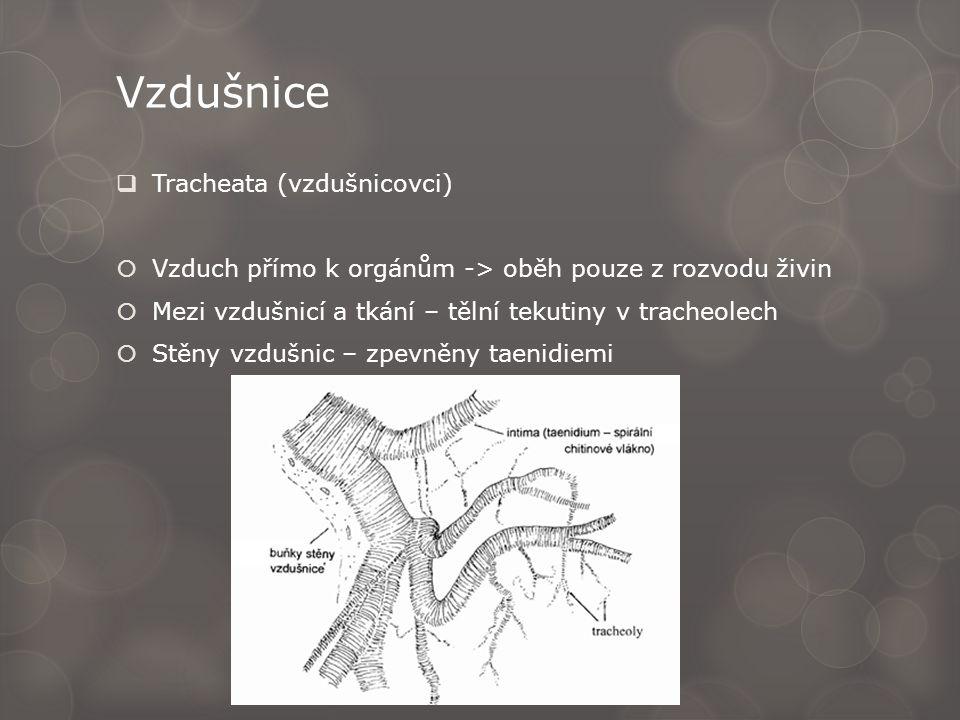 Vzdušnice  Tracheata (vzdušnicovci)  Vzduch přímo k orgánům -> oběh pouze z rozvodu živin  Mezi vzdušnicí a tkání – tělní tekutiny v tracheolech 