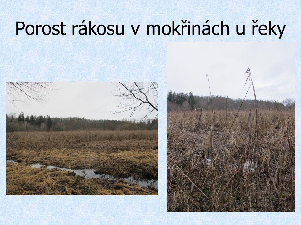 Porost rákosu v mokřinách u řeky