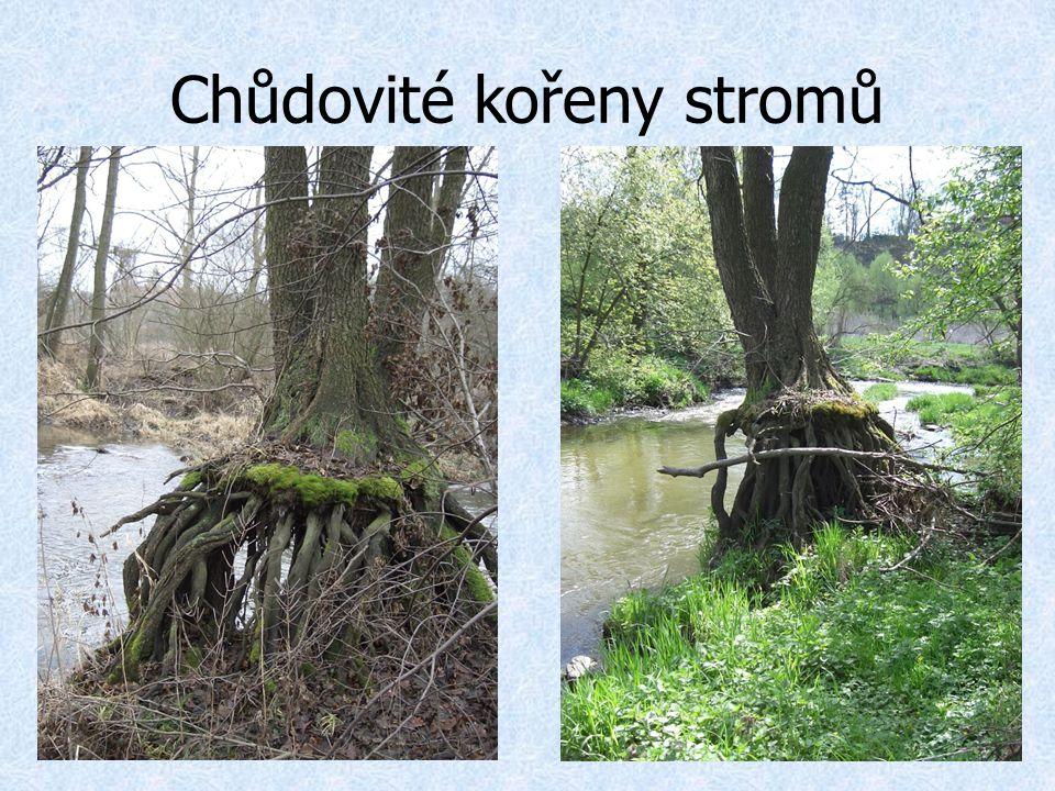 Chůdovité kořeny stromů