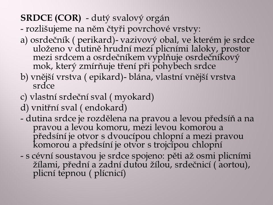 SRDCE (COR) - dutý svalový orgán - rozlišujeme na něm čtyři povrchové vrstvy: a) osrdečník ( perikard)- vazivový obal, ve kterém je srdce uloženo v du