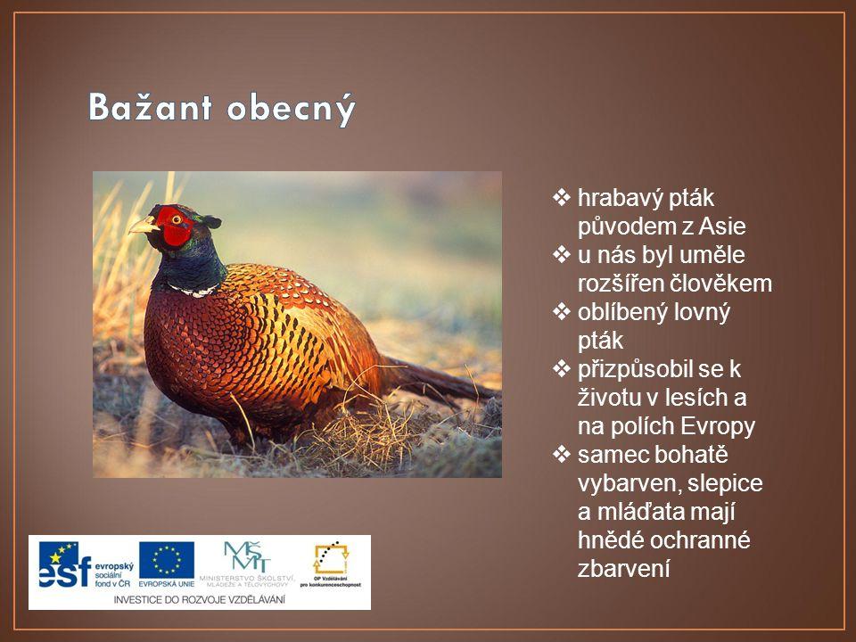  hrabavý pták původem z Asie  u nás byl uměle rozšířen člověkem  oblíbený lovný pták  přizpůsobil se k životu v lesích a na polích Evropy  samec