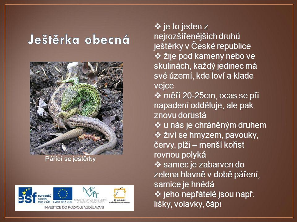 Pářící se ještěrky  je to jeden z nejrozšířenějších druhů ještěrky v České republice  žije pod kameny nebo ve skulinách, každý jedinec má své území,