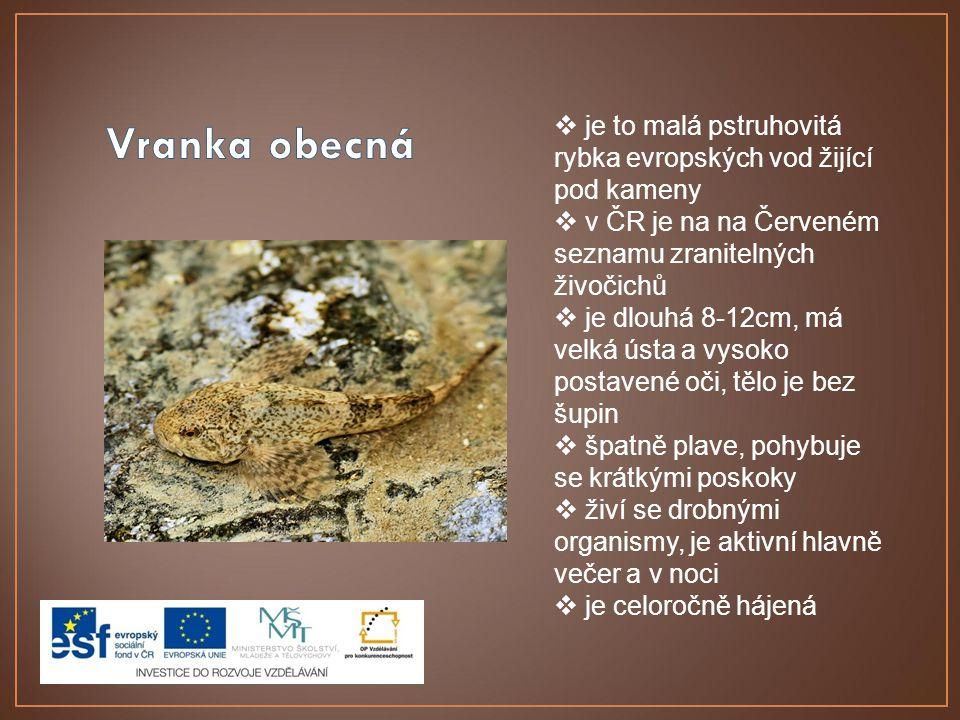  je to malá pstruhovitá rybka evropských vod žijící pod kameny  v ČR je na na Červeném seznamu zranitelných živočichů  je dlouhá 8-12cm, má velká ú