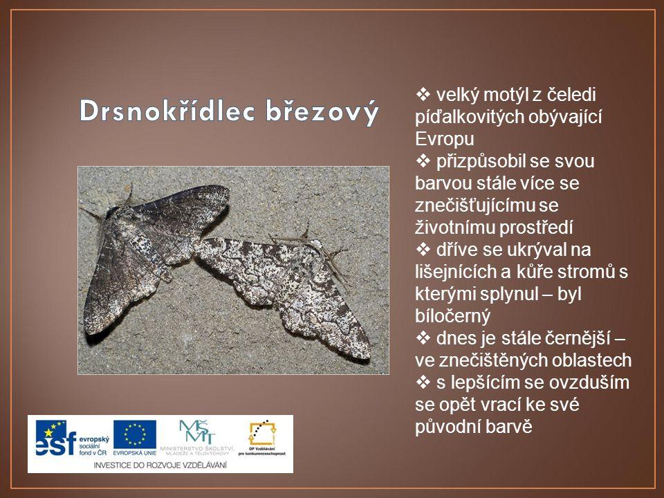  velký motýl z čeledi píďalkovitých obývající Evropu  přizpůsobil se svou barvou stále více se znečišťujícímu se životnímu prostředí  dříve se ukrý