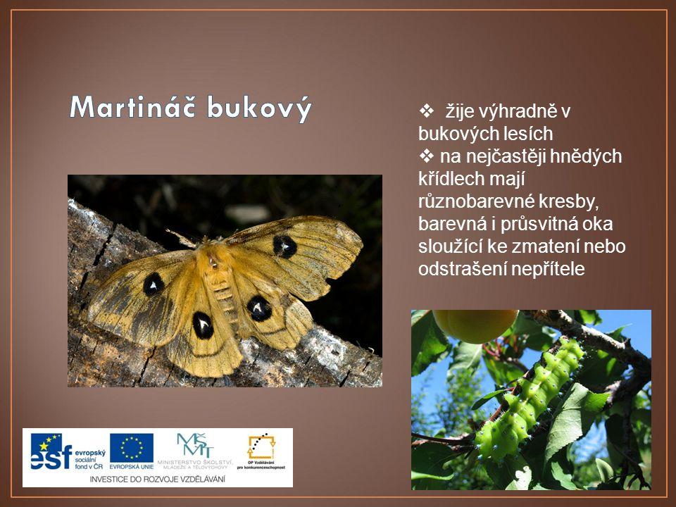  žije výhradně v bukových lesích  na nejčastěji hnědých křídlech mají různobarevné kresby, barevná i průsvitná oka sloužící ke zmatení nebo odstraše