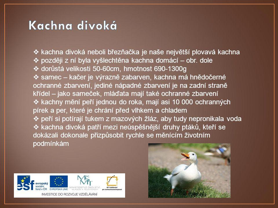  kachna divoká neboli březňačka je naše největší plovavá kachna  později z ní byla vyšlechtěna kachna domácí – obr. dole  dorůstá velikosti 50-60cm
