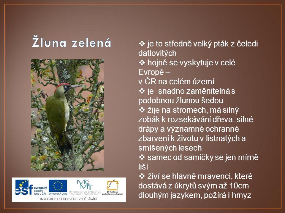  je to středně velký pták z čeledi datlovitých  hojně se vyskytuje v celé Evropě – v ČR na celém území  je snadno zaměnitelná s podobnou žlunou šed
