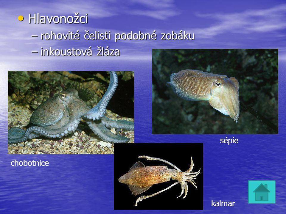 Hlavonožci Hlavonožci –rohovité čelisti podobné zobáku –inkoustová žláza sépie chobotnice kalmar