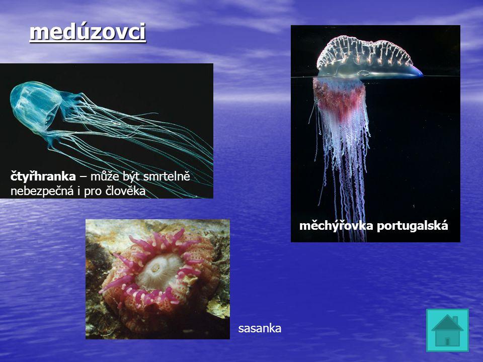 medúzovci čtyřhranka – může být smrtelně nebezpečná i pro člověka měchýřovka portugalská sasanka