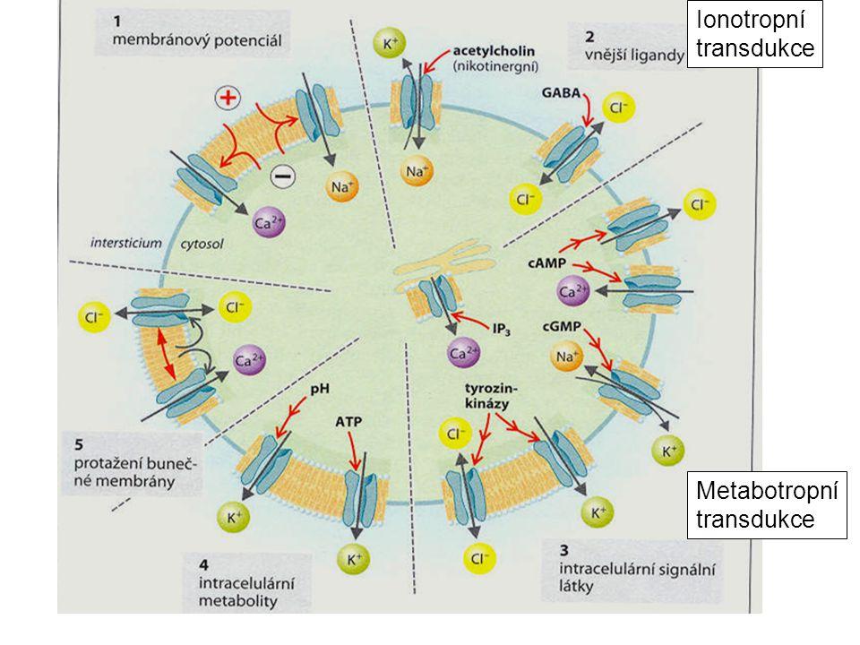 Metabotropní transdukce Ionotropní transdukce