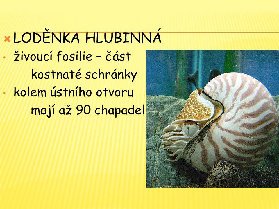  LODĚNKA HLUBINNÁ živoucí fosilie – část kostnaté schránky kolem ústního otvoru mají až 90 chapadel
