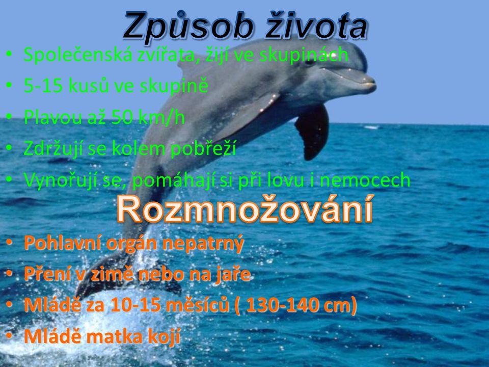 Společenská zvířata, žijí ve skupinách 5-15 kusů ve skupině Plavou až 50 km/h Zdržují se kolem pobřeží Vynořují se, pomáhají si při lovu i nemocech Po