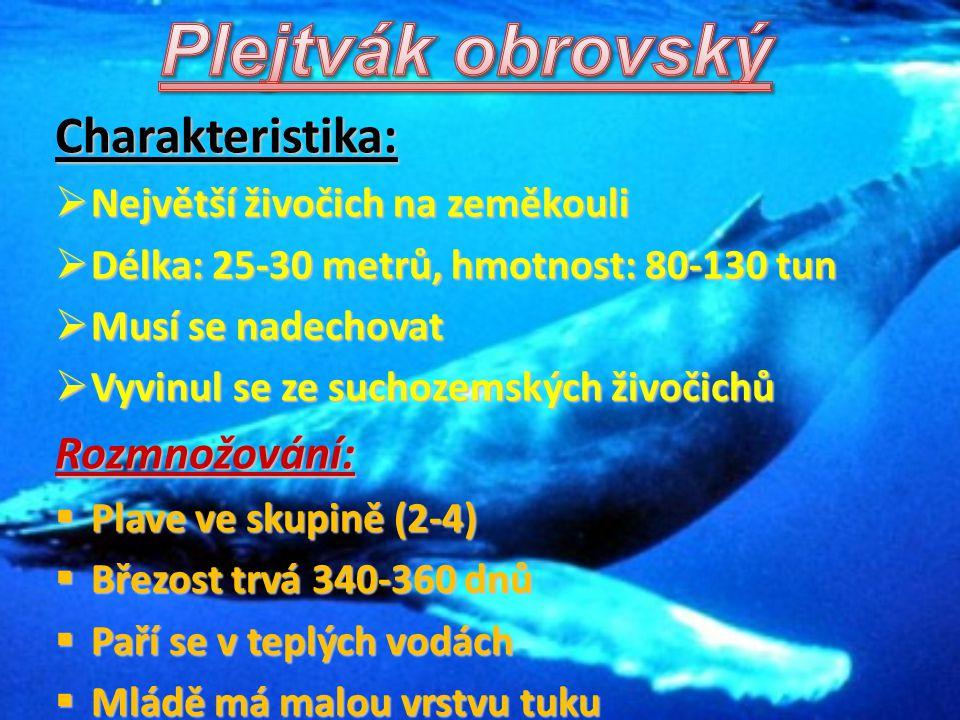 Charakteristika:  Největší živočich na zeměkouli  Délka: 25-30 metrů, hmotnost: 80-130 tun  Musí se nadechovat  Vyvinul se ze suchozemských živoči