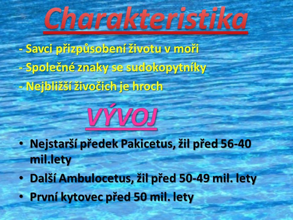 Živí se planktonem, bezobratlými živočichy Živí se planktonem, bezobratlými živočichy Za den sežere 4 tuny krylu Za den sežere 4 tuny krylu Je loven člověkem Je loven člověkem  Hlavně v arktických a antarktických vodách  Mládě vpije až 600 litrů vody Pod vodou až 2 hodiny Pod vodou až 2 hodiny