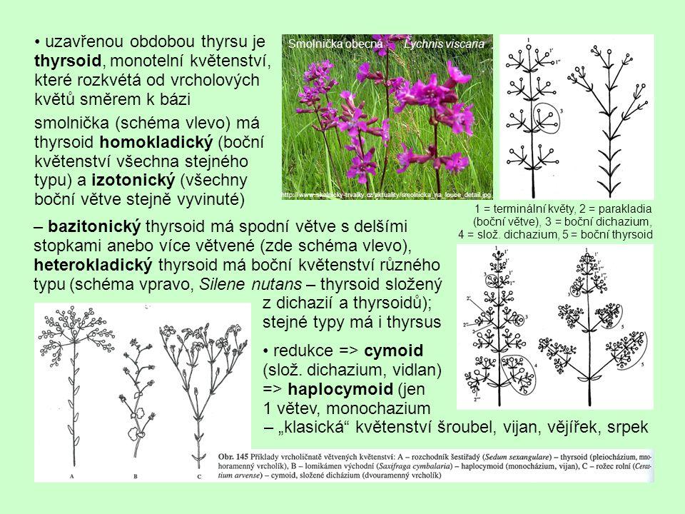 uzavřenou obdobou thyrsu je thyrsoid, monotelní květenství, které rozkvétá od vrcholových květů směrem k bázi smolnička (schéma vlevo) má thyrsoid homokladický (boční květenství všechna stejného typu) a izotonický (všechny boční větve stejně vyvinuté) – bazitonický thyrsoid má spodní větve s delšími stopkami anebo více větvené (zde schéma vlevo), heterokladický thyrsoid má boční květenství různého typu (schéma vpravo, Silene nutans – thyrsoid složený z dichazií a thyrsoidů); stejné typy má i thyrsus Smolnička obecná Lychnis viscaria http://www.skalnicky-trvalky.cz/aktuality/smolnicka_na_louce_detail.jpg 1 = terminální květy, 2 = parakladia (boční větve), 3 = boční dichazium, 4 = slož.