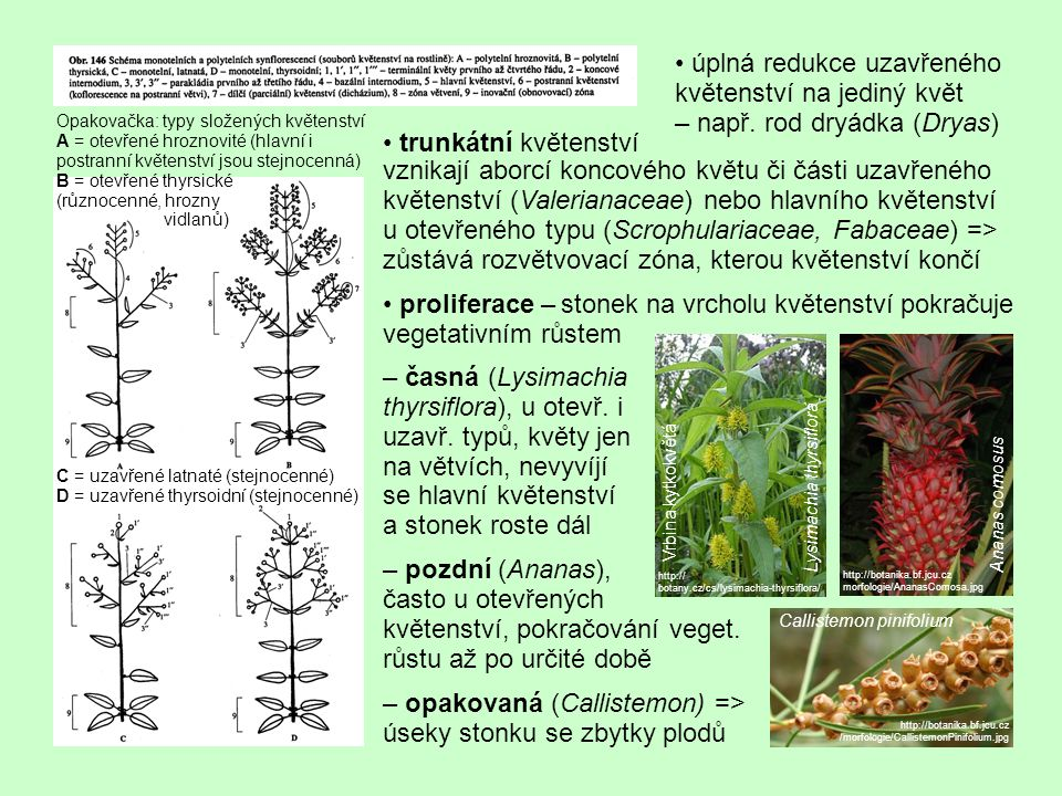 trunkátní květenství vznikají aborcí koncového květu či části uzavřeného květenství (Valerianaceae) nebo hlavního květenství u otevřeného typu (Scrophulariaceae, Fabaceae) => zůstává rozvětvovací zóna, kterou květenství končí proliferace – stonek na vrcholu květenství pokračuje vegetativním růstem – časná (Lysimachia thyrsiflora), u otevř.