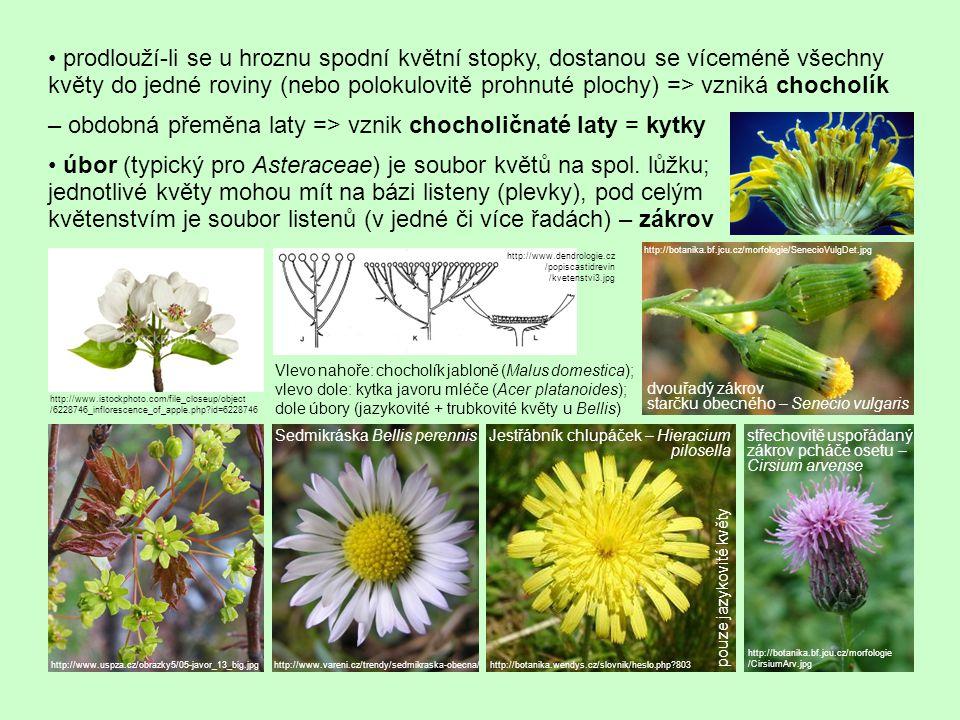 prodlouží-li se u hroznu spodní květní stopky, dostanou se víceméně všechny květy do jedné roviny (nebo polokulovitě prohnuté plochy) => vzniká chocholík – obdobná přeměna laty => vznik chocholičnaté laty = kytky úbor (typický pro Asteraceae) je soubor květů na spol.