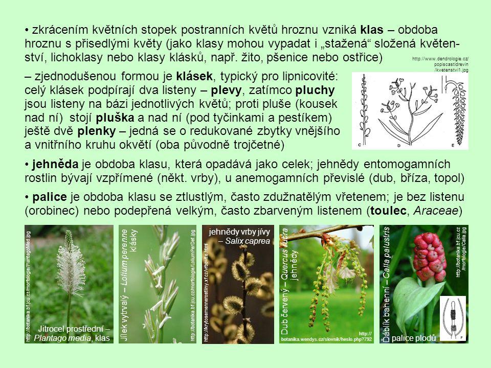"""zkrácením květních stopek postranních květů hroznu vzniká klas – obdoba hroznu s přisedlými květy (jako klasy mohou vypadat i """"stažená složená květen- ství, lichoklasy nebo klasy klásků, např."""