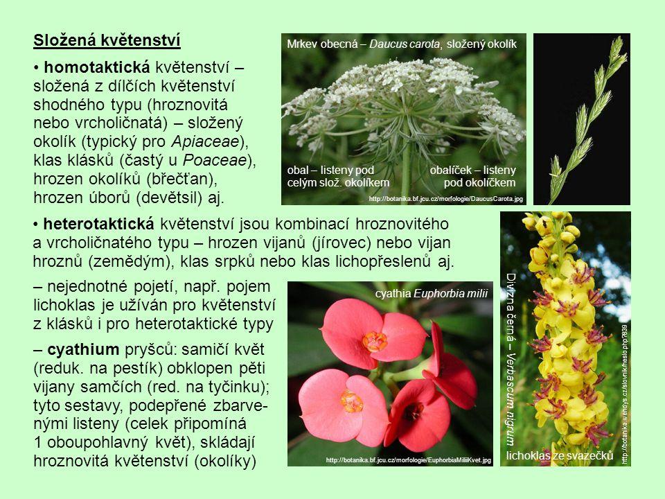 Složená květenství homotaktická květenství – složená z dílčích květenství shodného typu (hroznovitá nebo vrcholičnatá) – složený okolík (typický pro Apiaceae), klas klásků (častý u Poaceae), hrozen okolíků (břečťan), hrozen úborů (devětsil) aj.