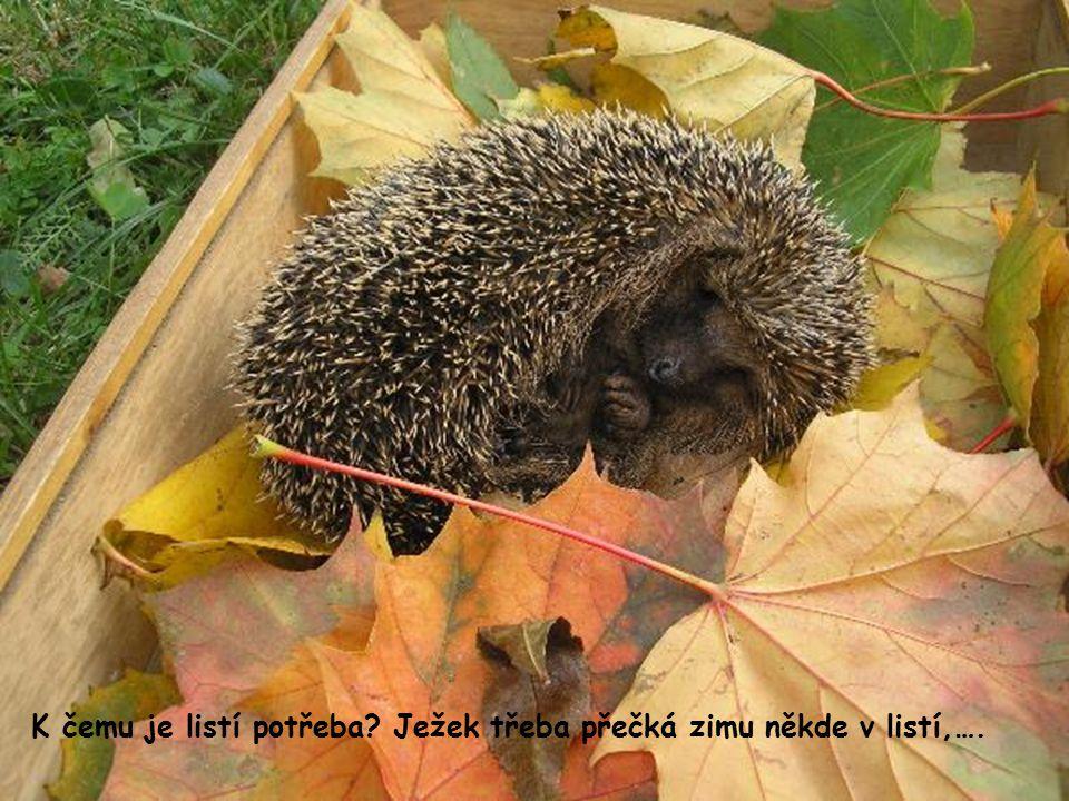 K čemu je listí potřeba? Ježek třeba přečká zimu někde v listí,….
