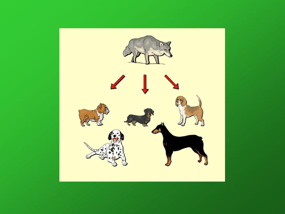 VLK ( Canis lupus ) Rozšíření : převážně na severní polokouli, ve všech typech krajin a biotopů => asi 30 poddruhů Rozměry : –Největší jedinci severních poddruhů dosahují velikosti přes 75 centimetrů v kohoutku a váhy 50 kilogramů – průměrný jedinec váží do 40 kg a měří kolem 70 cm v kohoutku.