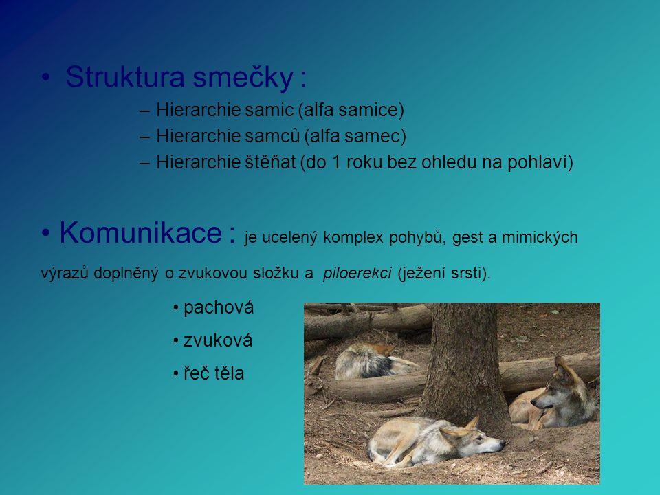 Struktura smečky : –Hierarchie samic (alfa samice) –Hierarchie samců (alfa samec) –Hierarchie štěňat (do 1 roku bez ohledu na pohlaví) Komunikace : je ucelený komplex pohybů, gest a mimických výrazů doplněný o zvukovou složku a piloerekci (ježení srsti).