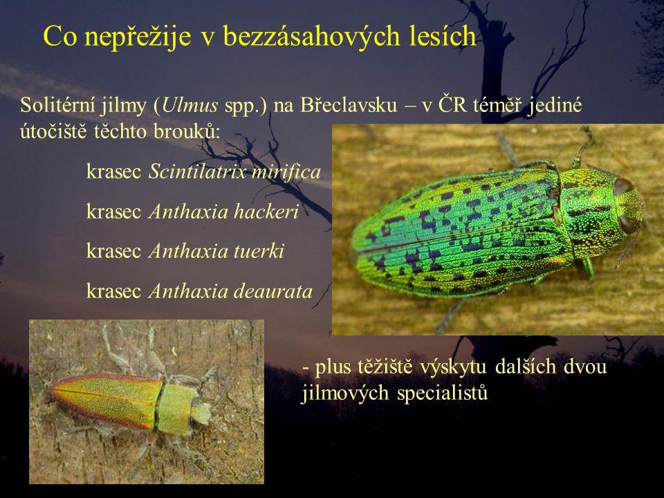 Solitérní jilmy (Ulmus spp.) na Břeclavsku – v ČR téměř jediné útočiště těchto brouků: krasec Scintilatrix mirifica krasec Anthaxia hackeri krasec Ant