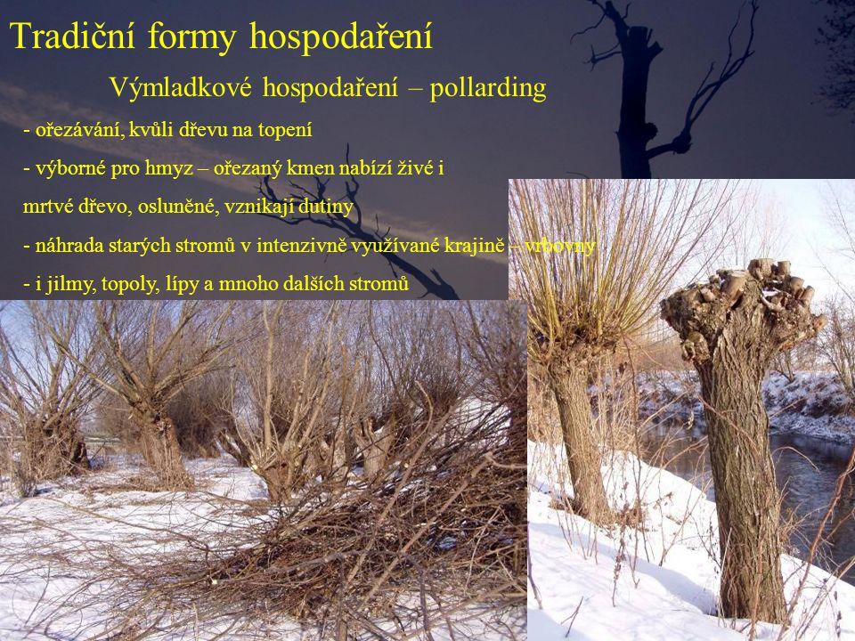 Tradiční formy hospodaření Výmladkové hospodaření – pollarding - ořezávání, kvůli dřevu na topení - výborné pro hmyz – ořezaný kmen nabízí živé i mrtv