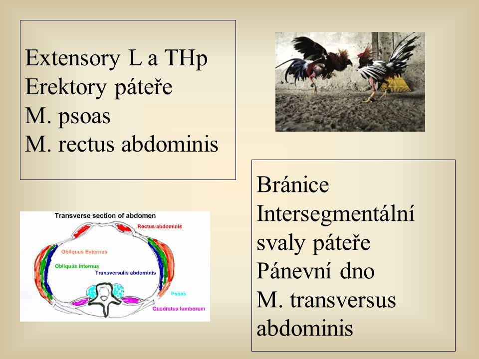 Bránice Intersegmentální svaly páteře Pánevní dno M. transversus abdominis Extensory L a THp Erektory páteře M. psoas M. rectus abdominis
