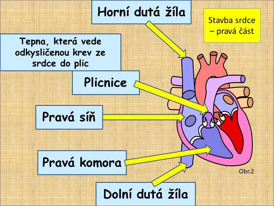 Stavba srdce – pravá část Obr.2 Pravá síň Pravá komora Plicnice Tepna, která vede odkysličenou krev ze srdce do plic Dolní dutá žíla Horní dutá žíla