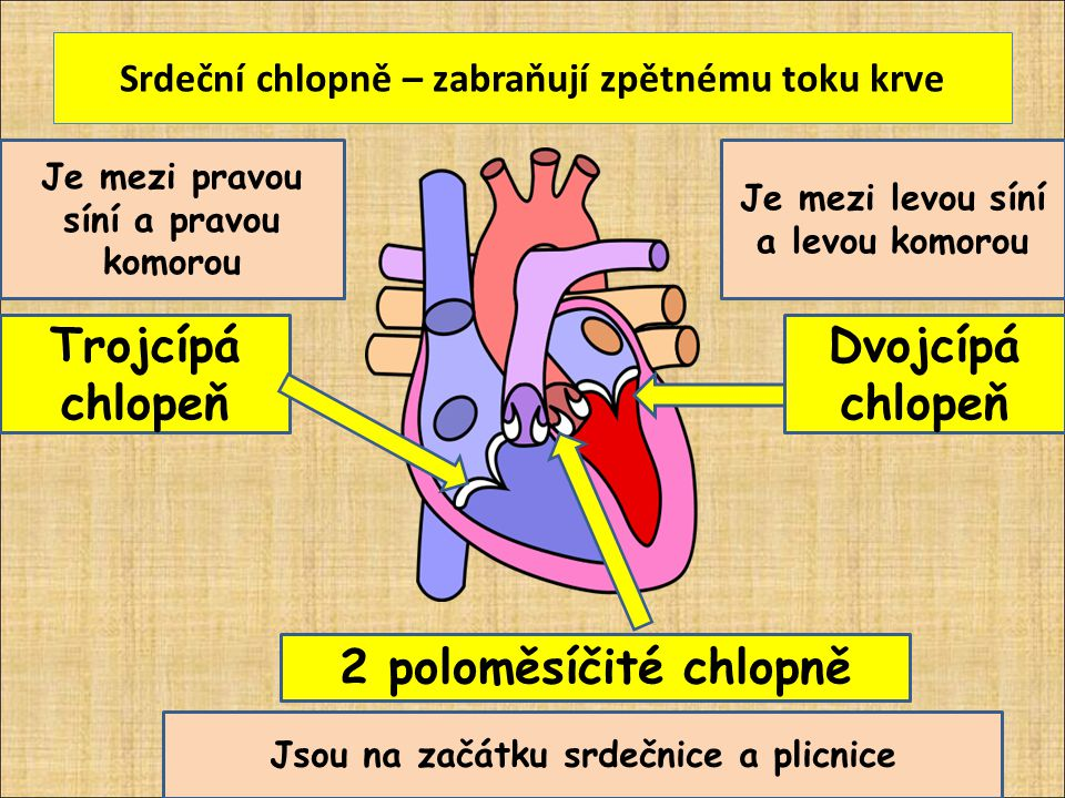 Srdeční chlopně – zabraňují zpětnému toku krve Obr.2 Trojcípá chlopeň Dvojcípá chlopeň Je mezi pravou síní a pravou komorou Je mezi levou síní a levou