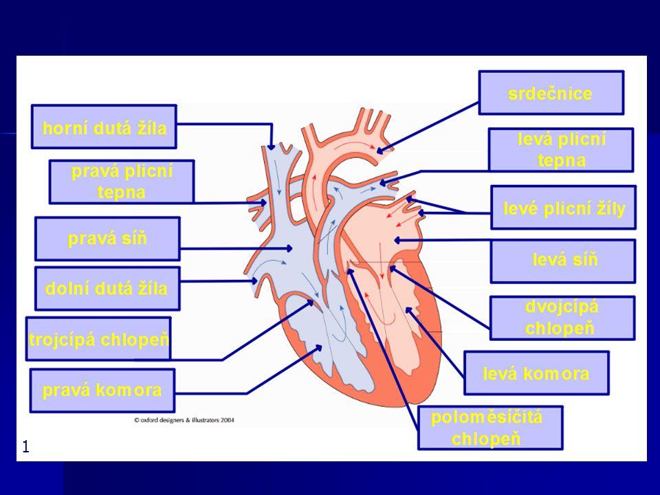 Srdce dutý sval tvořený srdeční svalovinou dutý sval tvořený srdeční svalovinou uloženo v dutině hrudní mezi plícemi uloženo v dutině hrudní mezi plícemi tvar kužele - vrchol směřuje dolů a mírně dopředu (hmotnost kolem 300g) tvar kužele - vrchol směřuje dolů a mírně dopředu (hmotnost kolem 300g) uloženo v osrdečníku = uloženo v osrdečníku = vazivové pouzdro vazivové pouzdro věnčité tepny srdce vyživují věnčité tepny srdce vyživují a zásobují kyslíkem a zásobují kyslíkem 2