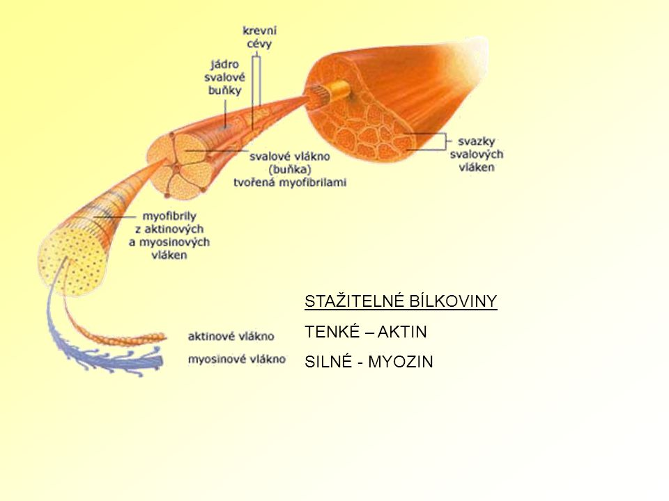 Široký zádový sval Trapézový sval