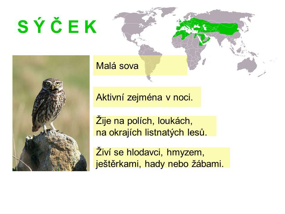 S Ý Č E K Malá sova Žije na polích, loukách, na okrajích listnatých lesů.