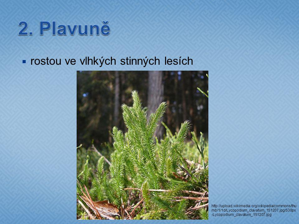  rostou ve vlhkých stinných lesích http://upload.wikimedia.org/wikipedia/commons/thu mb/1/1d/Lycopodium_clavatum_151207.jpg/530px -Lycopodium_clavatu
