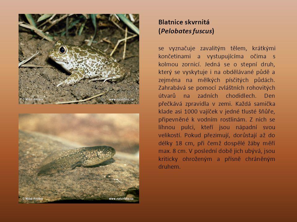 Blatnice skvrnitá (Pelobates fuscus) se vyznačuje zavalitým tělem, krátkými končetinami a vystupujícíma očima s kolmou zornicí. Jedná se o stepní druh
