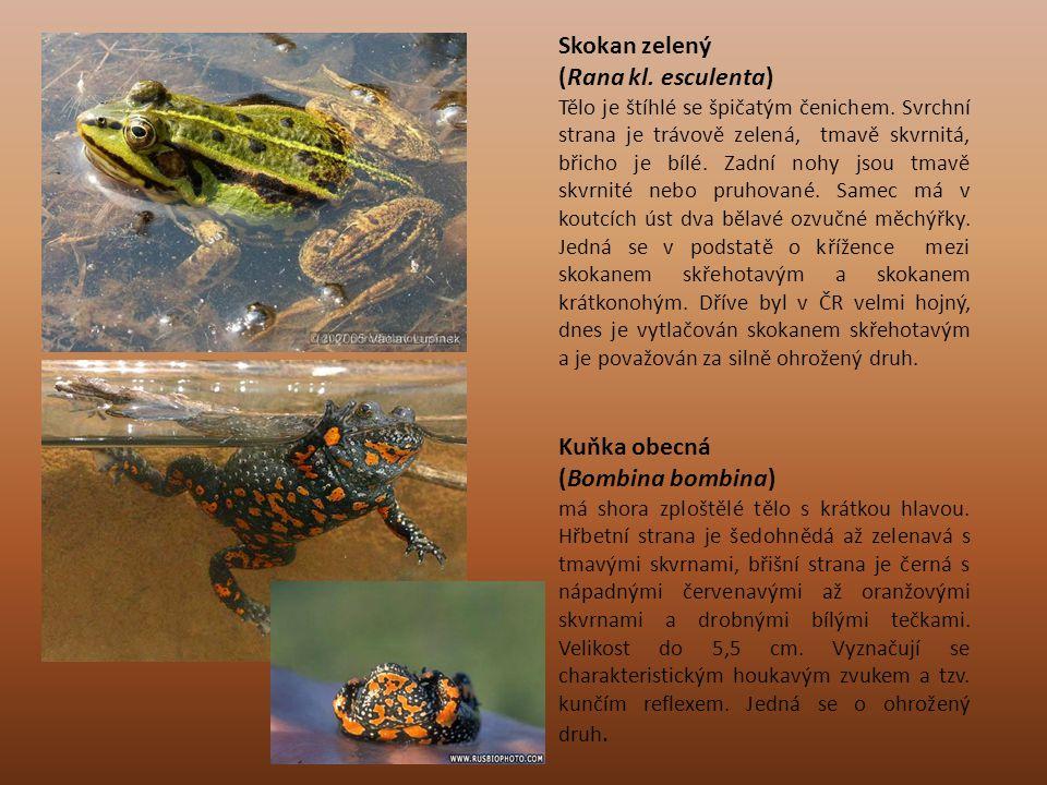 Skokan zelený (Rana kl. esculenta) Tělo je štíhlé se špičatým čenichem. Svrchní strana je trávově zelená, tmavě skvrnitá, břicho je bílé. Zadní nohy j