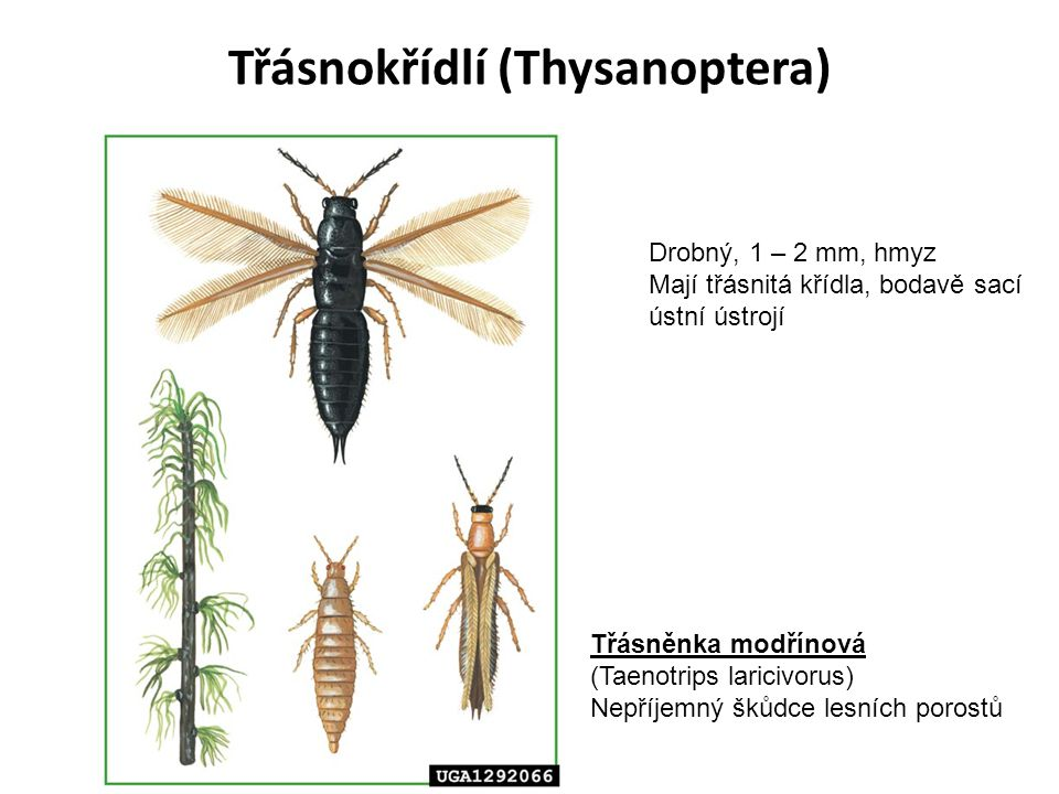 Třásnokřídlí (Thysanoptera) Třásněnka modřínová (Taenotrips laricivorus) Nepříjemný škůdce lesních porostů Drobný, 1 – 2 mm, hmyz Mají třásnitá křídla