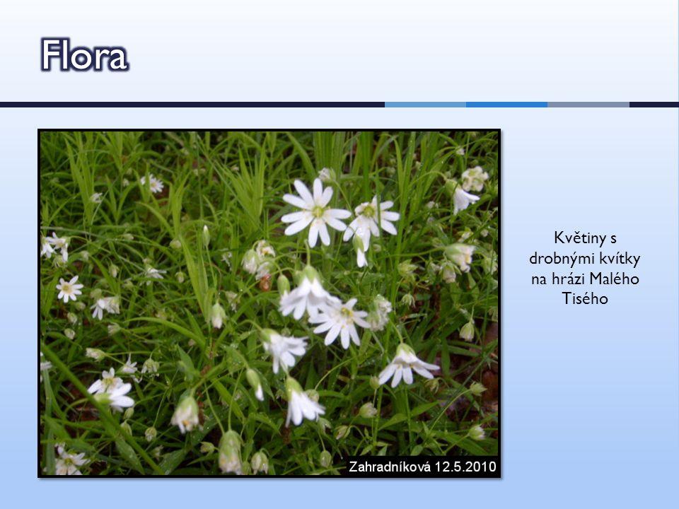 Květiny s drobnými kvítky na hrázi Malého Tisého