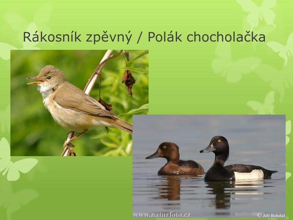Rákosník zpěvný / Polák chocholačka