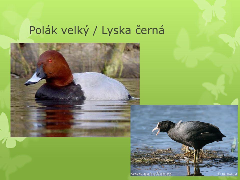 Polák velký / Lyska černá