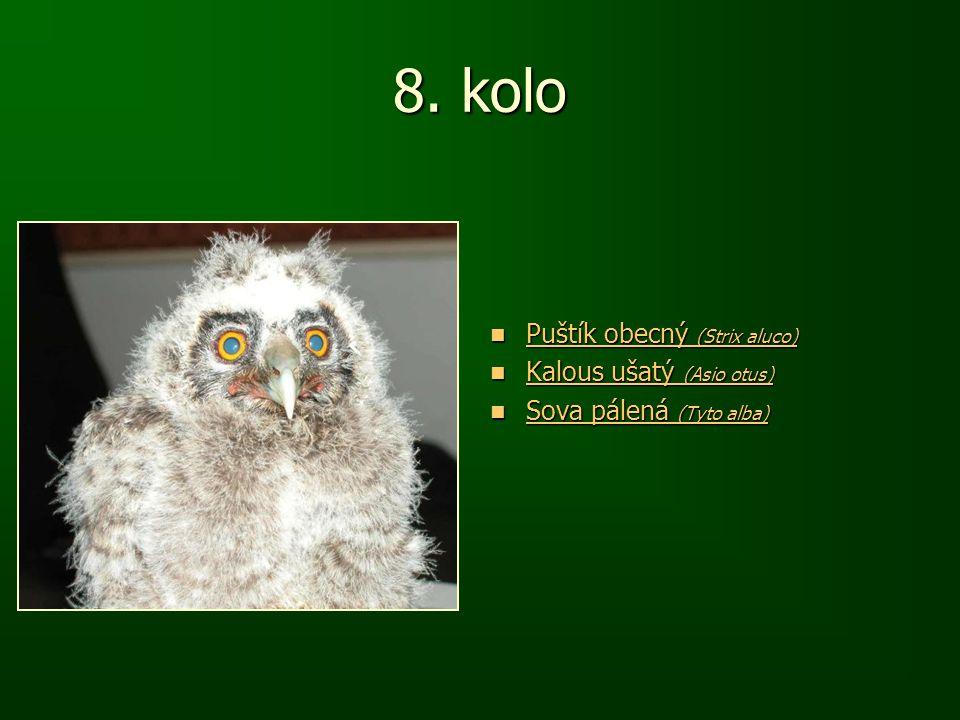 8. kolo Puštík obecný (Strix aluco) Puštík obecný (Strix aluco) Puštík obecný (Strix aluco) Puštík obecný (Strix aluco) Kalous ušatý (Asio otus) Kalou