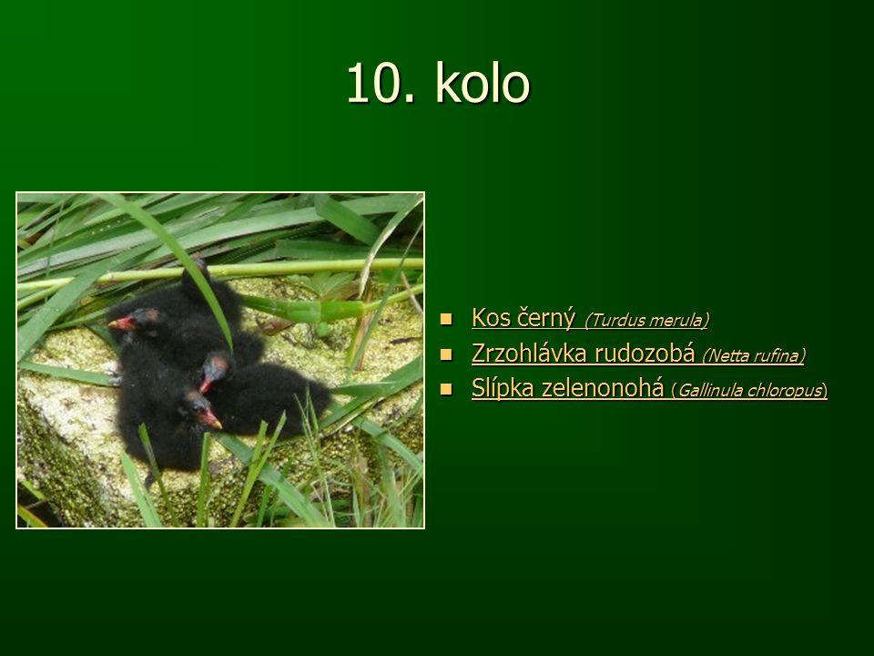 10. kolo Kos černý (Turdus merula) Kos černý (Turdus merula) Kos černý (Turdus merula) Kos černý (Turdus merula) Zrzohlávka rudozobá (Netta rufina) Zr