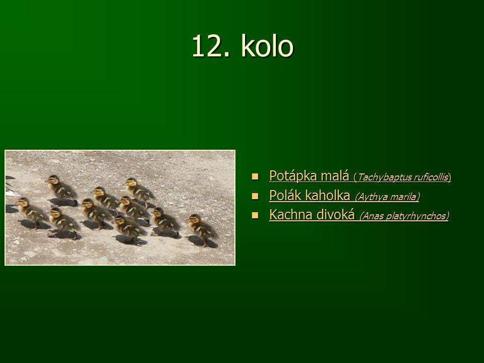 12. kolo Potápka malá (Tachybaptus ruficollis) Potápka malá (Tachybaptus ruficollis) Potápka malá (Tachybaptus ruficollis) Potápka malá (Tachybaptus r