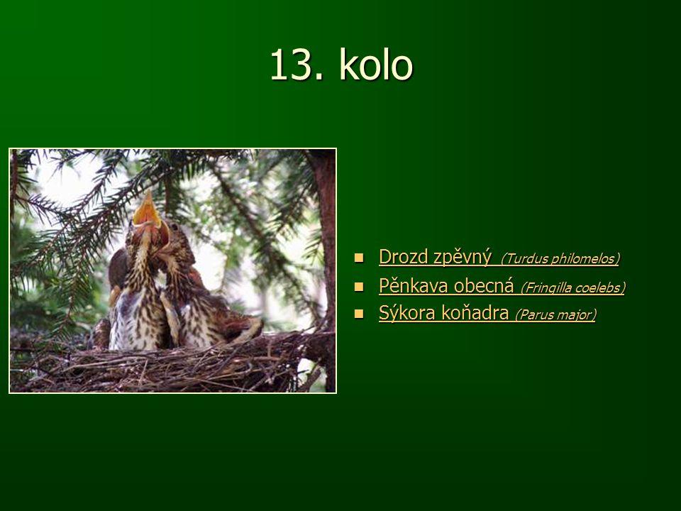 13. kolo Drozd zpěvný (Turdus philomelos) Drozd zpěvný (Turdus philomelos) Drozd zpěvný (Turdus philomelos) Drozd zpěvný (Turdus philomelos) Pěnkava o