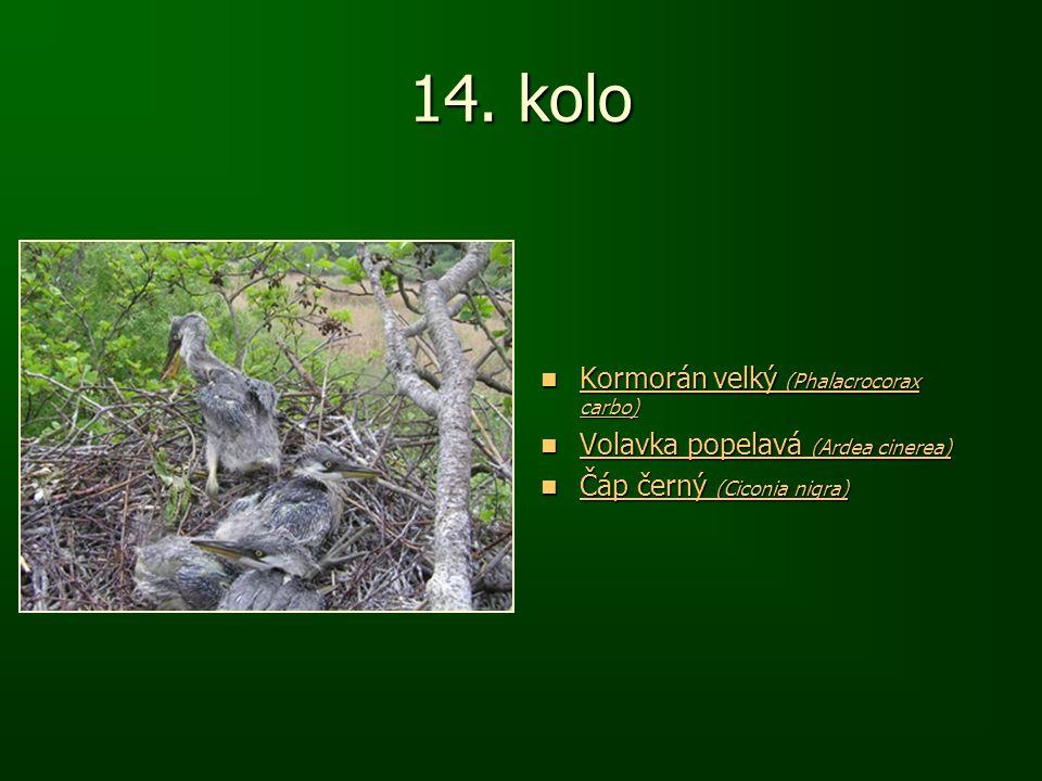14. kolo Kormorán velký (Phalacrocorax carbo) Kormorán velký (Phalacrocorax carbo) Kormorán velký (Phalacrocorax carbo) Kormorán velký (Phalacrocorax