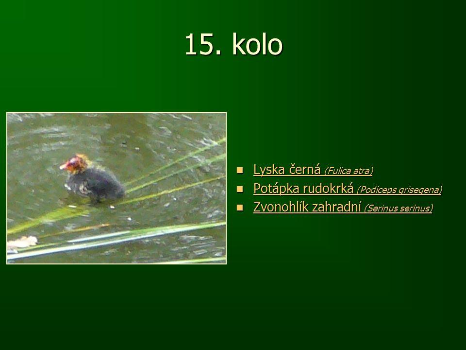 15. kolo Lyska černá (Fulica atra) Lyska černá (Fulica atra) Lyska černá (Fulica atra) Lyska černá (Fulica atra) Potápka rudokrká (Podiceps grisegena)