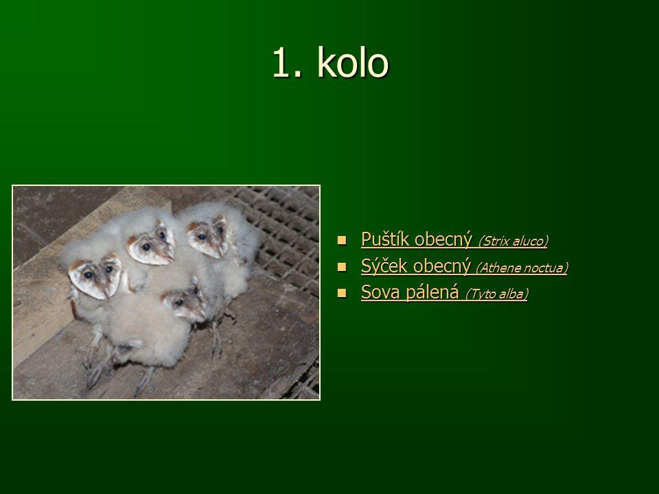1. kolo Puštík obecný (Strix aluco) Puštík obecný (Strix aluco) Puštík obecný (Strix aluco) Puštík obecný (Strix aluco) Sýček obecný (Athene noctua) S